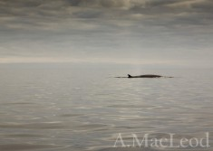 These calm days provided good opportnity for whale spotting, we think these were minkes.