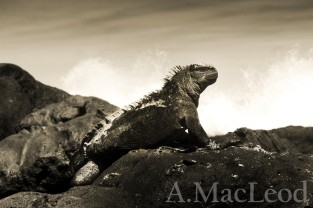 From 2012 to 2014 we went to the Galapagos Islands each year to collect samples from marine iguanas.