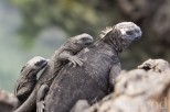 Marine iguanas are pretty gregarious.