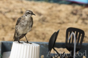 The mocking bird was resident at our camp and was so young when we arrived that I think it accepted us as part of its extended family. It sometimes waited at my feet, catching the occasional swatted fly (flies are also tame in the Galapagos and sometimes you just have to smack them).