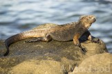 The lack of invasive mammals is also good for marine iguanas since the young iguanas are vulnerable to predation.
