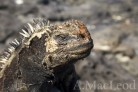 Islotte Pitt is also a good nesting area for marine iguanas. Here you can see that this female has been digging or maintaining a burrow for her eggs.