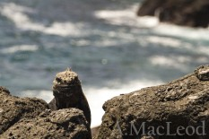 Though there are a decent number of marine iguanas at Playa Cafe, you still have to work to catch them. Since they congregate on the cliff edges, catching them can be hair-raising stuff.