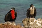 Male frigate birds blow up their throat poaches to attract females. This one seems to have given up trying to impress.