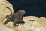 Iguana at Playa Cafe.