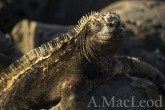 Maring iguanas are pleasant animals to work with due to thier calm nature (and pleasant faces).