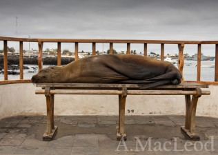 In the capital of the Galapagos there are many benches along the sea front. I have never sat on one because you aren't allowed to sit on sealions.