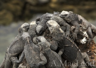 In the large, healthy colonies on Isabela island, you can find dense congregations of young iguanas,