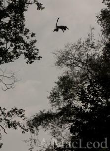 Acrobatic colobus.