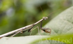 If I had to vote for one insect that was actually an alien, it would be the preying mantis.