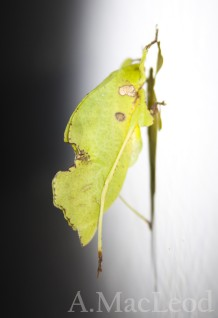 I think it's a katydid (?), but in any case, top marks for camouflage effort.