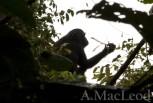 Uganda_chimps_2011 152